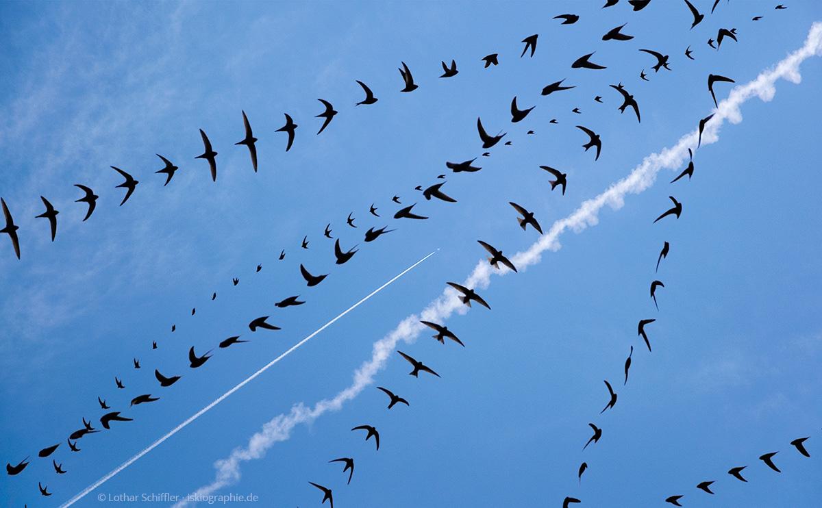 AIRLINES XIV-8 · Mauersegler und Kondensstreifen · Pomonte · Elba · 2014