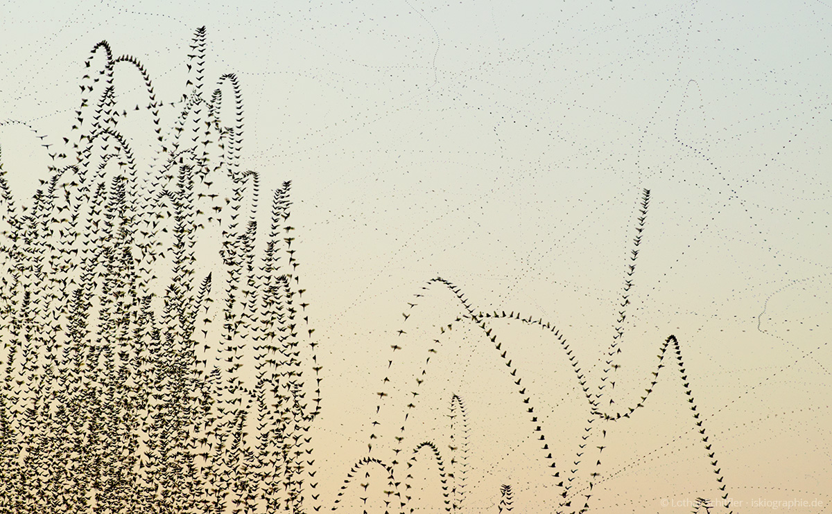 AIRLINES XV-9 · Eintagsfliegen (Ephemera vulgata) · Starnberger See · 2015