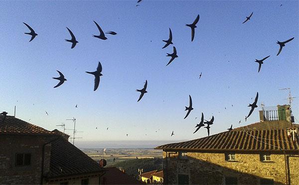 Swifts above Campiglia Marittima